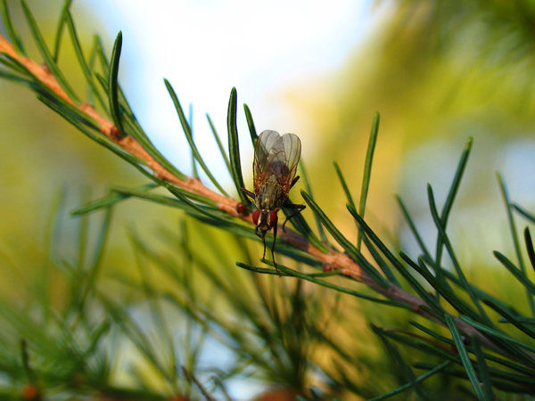 Little fly2: Little fly on a pine branch(Insect series)
