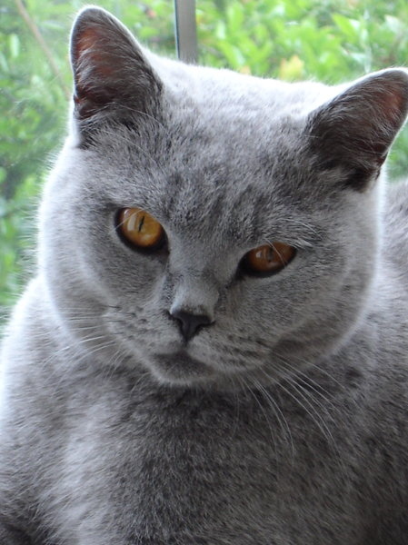 Biffi_6: British Shorthair Blue