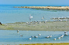 Sea Gulls on the shore: Sea gulls sitting in groups on the sandy beach at the sea shore playing under the sunlight and enjoying the natural environment and ecological system of the sea. Sea water provides home for sea life , and sea birds they love to stay in these waters.