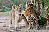 Tiger Vs Lion: Tiger and Lion are playing together in the zoo. Animals are happy in their natural environment and these species are found in every zoo around the world