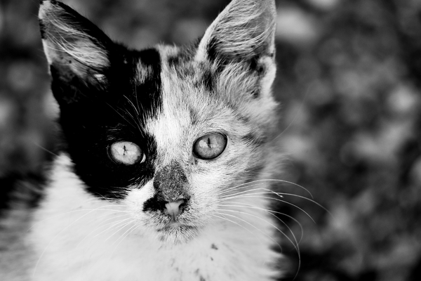 cat in black and white: female cat, a cure feline is looking at camera