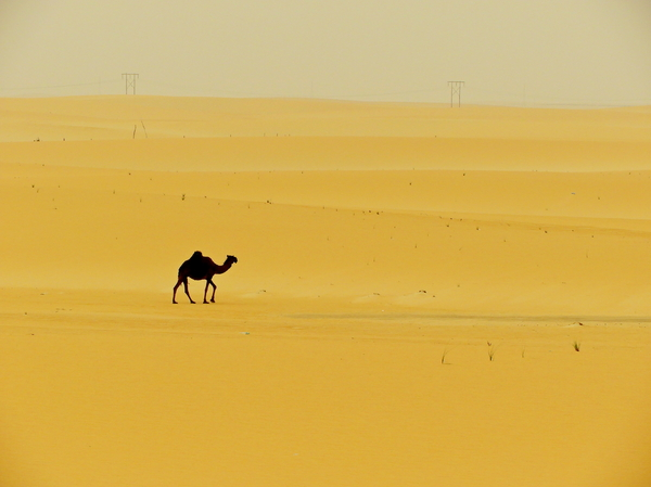 Camels in the desert: Camels are traveling  in the hot sand of the desert