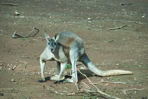 mammal: a male kangaroo in a zoo