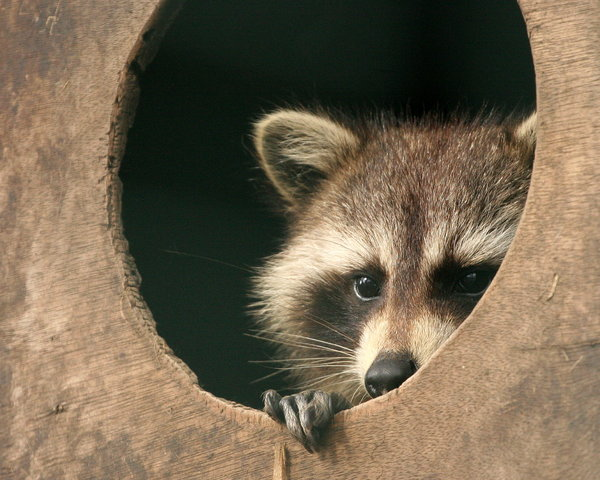 Raccoon Looking: