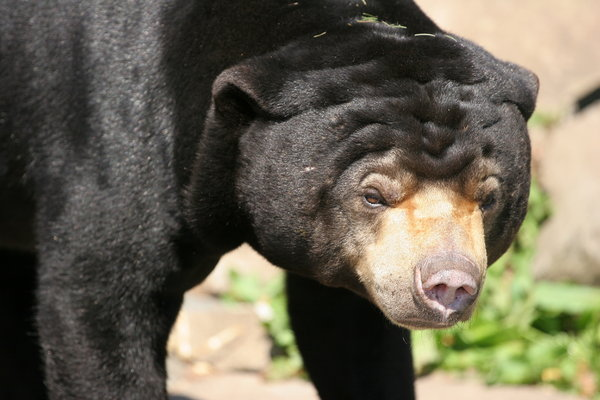 Grumpy Sun Bear: Grumpy Sun Bear in Edinburgh Zoo