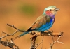 lilac-breasted roller: