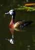 White Faced Whistling Ducks 3: Various images of white faced whistling Ducks