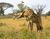 Fighting Giraffes 1: Giraffe bulls (males) fighting for  domination by hitting each other with necks and horns