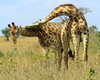 Fighting Giraffes 5: Giraffe bulls (males) fighting for  domination by hitting each other with necks and horns