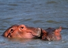 Hippopotamus (Hippo) family 4: Hippo Family pics, responsible for more human deaths than any other animal in the African wild, however not counted under the