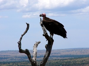 Vultures: A vulture waiting for pray in a tree in  the Serengeti