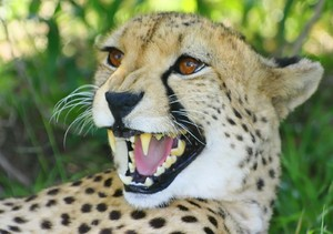 African Cats: Cheetah 1: The fastest of the african wild cats, slim build with long body pray on small animals.