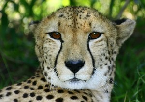 African Cats: Cheetah 5: The fastest of the african wild cats, slim build with long body pray on small animals.
