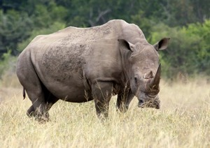 White Rhino 1: The white rhino can be identified by the  wide flat mouth are grass eaters. Black Rhinos on the other hand has a shorter neck, is more aggressive, and has a sharp lip to pick leaves from trees. They cover them with a mud bath to protect against insects an