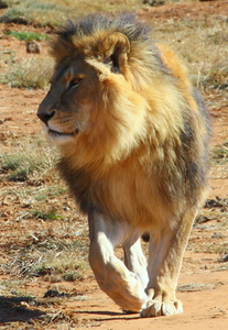 African Lion Males (Cezar): Image of a male lion (Cezar), the largest of the African cat family. He can break the back of a buffalo with one blow of his paw.(Cezar was rescued from a zoo in Tecuci, Romania. and was in a terrible neglected condition before being relocated to South Af