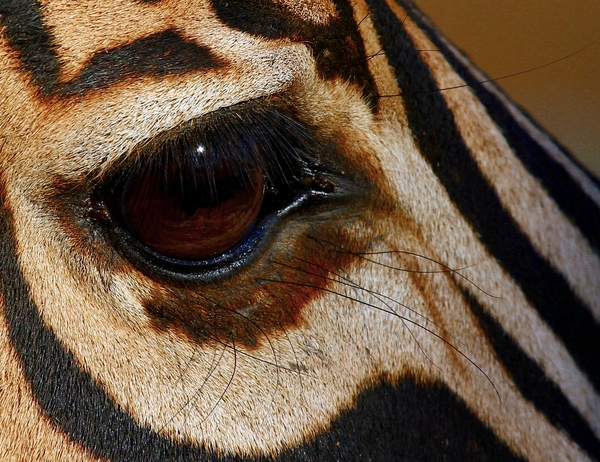 Zebra Eye 1: various Close-up's pics of Zebra eyes