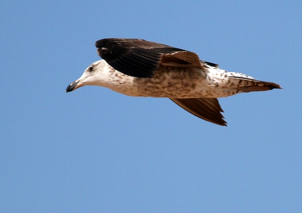 Young Seagull 1: A young Seagull in Flight