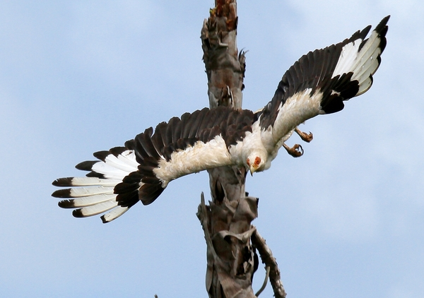 Palmnut Vulture flight 3: A scarce vulture species only found in Zululand, Southern African and parts of the Okavango in Botswana, nests in, and living of