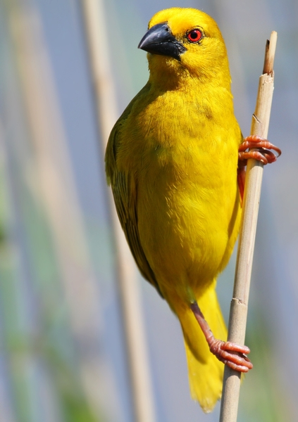 Yellow Finch/Weavers 1: Yellow Finch Weavers building nests in the Reeds