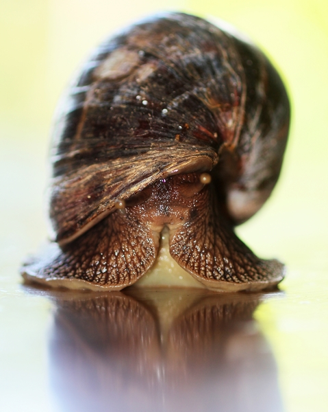 The Snail - close-up 3: A huge Garden Snail in Zululand South Africa. The size of a man's hand