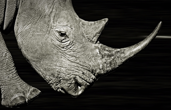 Rhino in the Dark - Monochrome: White Rhino with dark background.