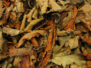 Autumn leaves: dead leaves on the ground