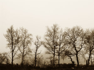 Old Trees: A row of old trees in a foggy sepia setting.