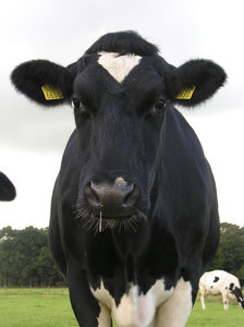 Cow: A typical Dutch cow.