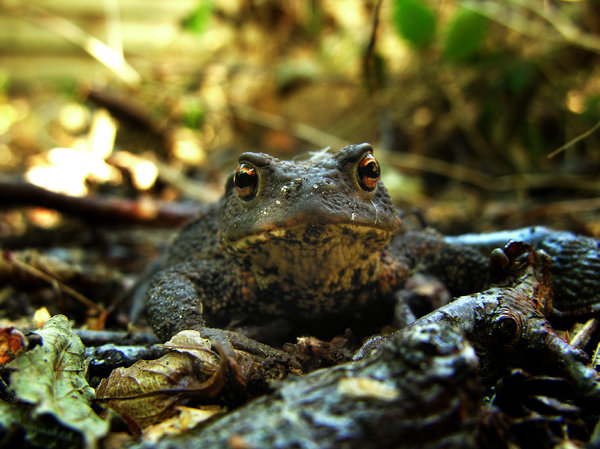 frog: A frog or toad who's looking slightly disturbed into the camera. The picture was taken in my backyard.