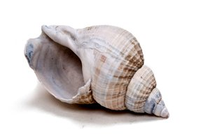 Seashell: A regular seashell found at the beach.
