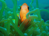 clownfish 1: red sea clownfish