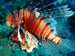 Pterois miles 2 2: red sea fire-fish , Pterois miles