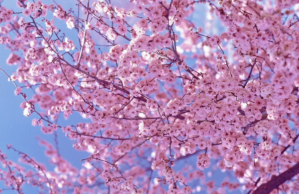 Cherry Blossoms: