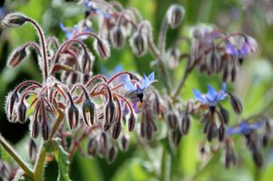 borage: No description
