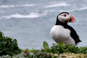 Puffin 2: Two days spent on Skomer Island last year gave some great access to puffins, which are wonderful subjects!!