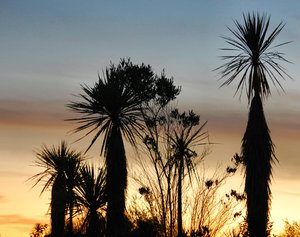 Tree silhouettes: Sunset in South Island with silhouettes of cabbage trees