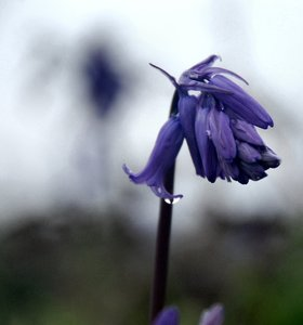 Bluebell after rain: Skomer Island South Wales