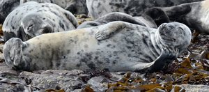 Atlantic grey seal: Seal enjoying a snooze in the sunshine on the Farne Islands.