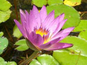 Water Lily: Photo taken at Melaka, West Malaysia.