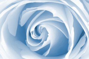 High Key Rose: White rose macro with a high key touch and blue monotone color tinting.