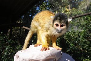 Squirrel Monkey: Close-up photo of a squirrel from an animal sanctuary near Cape Town, South Africa.