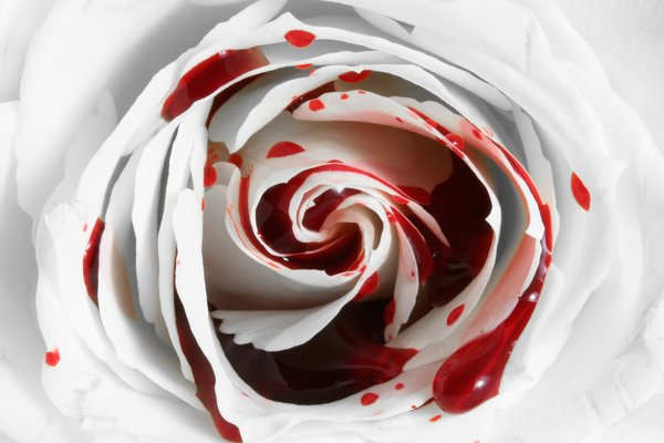 Blood Rose Macro: White rose macro with fake blood. A conceptual image to illustrate corruption of purity.
