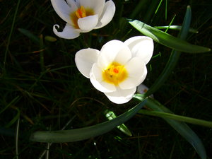 Spring Garden 3: A beautiful sunny day, bringing all the crocuses in my garden to life.