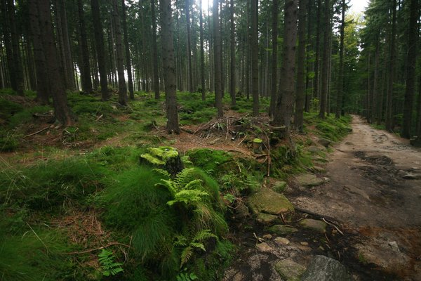 Forest: dirt path in a green forest