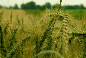 Green Summer wheat field: Summer wheat field with occasional raindrops