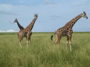 happy giraffes 2: photo taken in Uganda