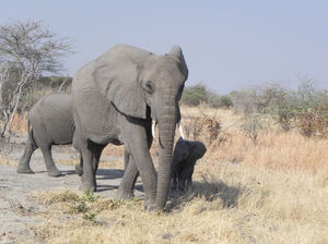 elephants in Botswana: none