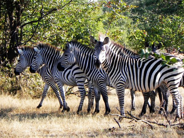 zebras: photo taken in Zambia
