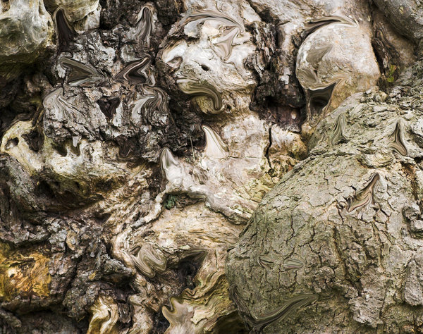 Demons in the wood: Can you see the demonic faces in the bark of this ancient tree in Ashdown Forest, England