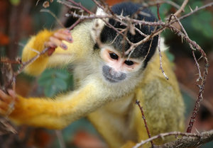 Squirrel monkey: squirrel monkey spotted in Apenheul Netherlands